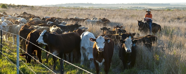 Cattle grazing unmined land